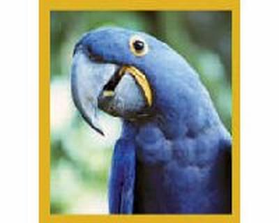 Macaw Hyacinth Blue