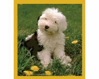 Old English Sheepdog Puppy