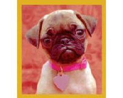 Pug Puppy (Fawn)