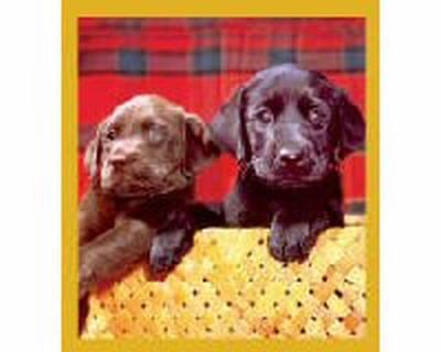 Choc. & Black Lab Puppies