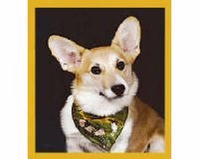Corgie Puppy