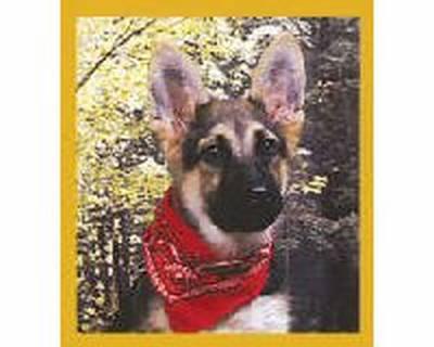 German Shepherd Pup w/Bandana