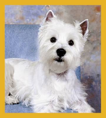 Westie West Highland Terrier