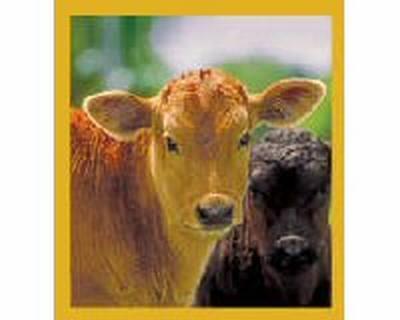 Two Calves (Brown & Black)