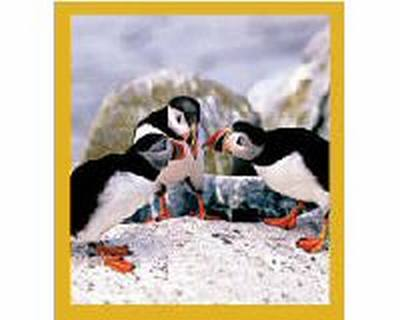 Puffins' Chat