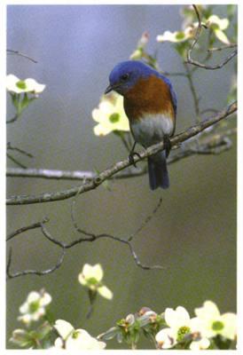 Eastern Bluebird (6x8 Greeting Card)