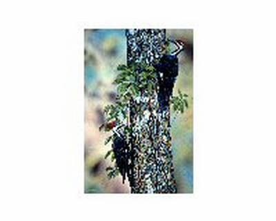 Pileated Woodpeckers 16x20 Print