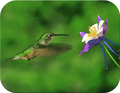 Hummingbird & Columb. - Small